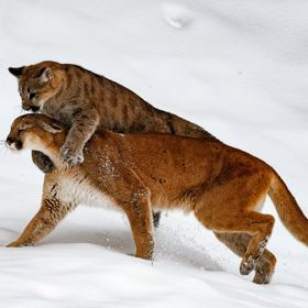 Mountain lion with her cub. Playing.