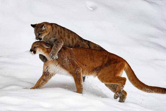Mountain lion with her cub. Playing.  by dffry - Winter Wildlife Photo Contest