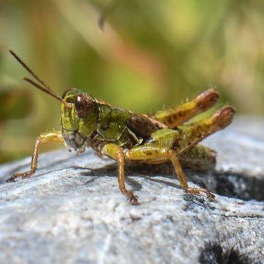 NZ Grasshopper