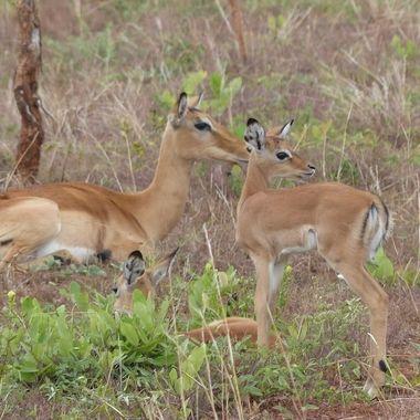 Impala Ewe & Lambs