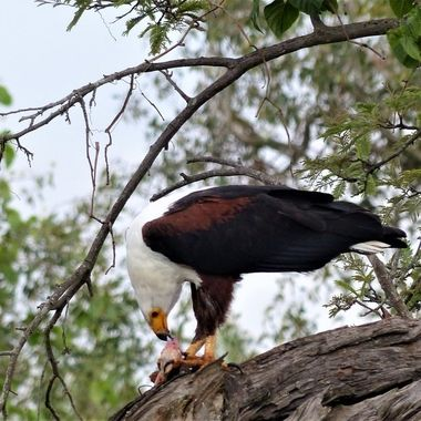 On one of my rare game drives in the park this fish eagle landed in a tree with a live fish in it's talons and commenced feeding