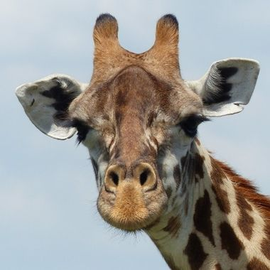 Giraffe up close