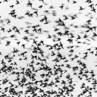 Starling coming in to roost.
