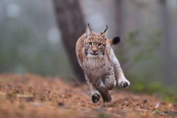 Running lynx by EuroBen - Social Exposure Photo Contest Vol 20