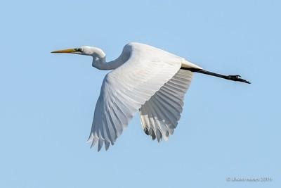 Garça-branca-grande | Great egret | Egretta alba