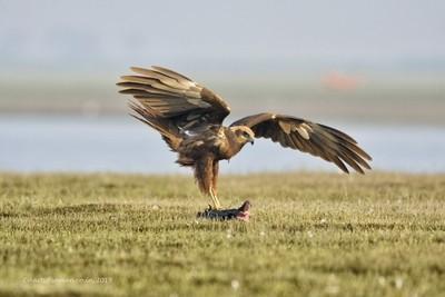 Eastern Marsh Harrier- Enjoying the Prey