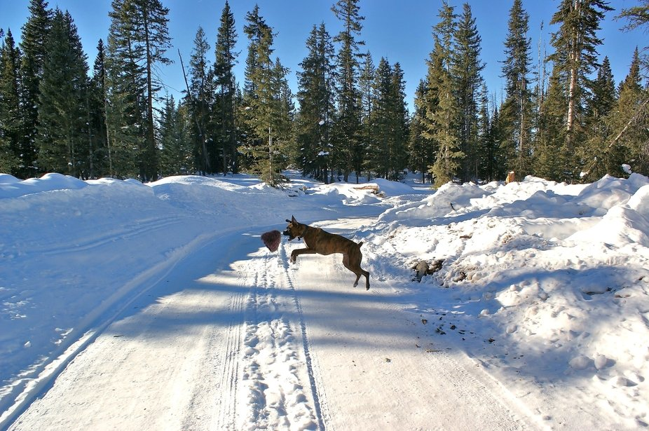 My Boxer named Shadow jumps high to catch a wool hat on the Grand Mesa in western Colorado.