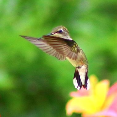 Hummingbird  Series