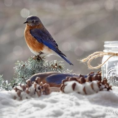 Eastern Bluebird in the Snow