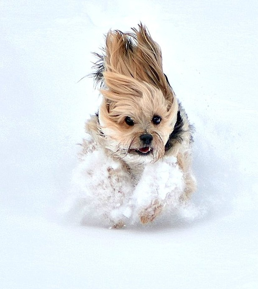 I LOVE SNOW! by sharilee - Dogs In Action Photo Contest