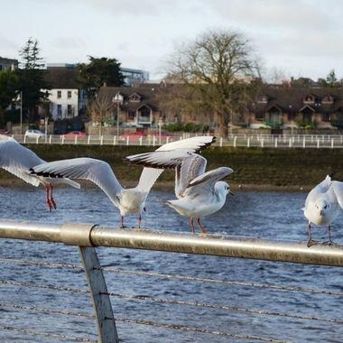 Sunday Morning Gulls