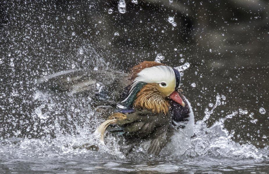 Central Park Mandarin Duck