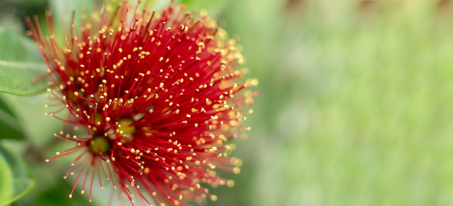 The Pohutakawa is the iconic summer flower of New Zealand and is seen throughout the country brig...