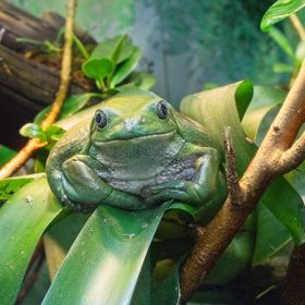Fat green frog sitting on a branch