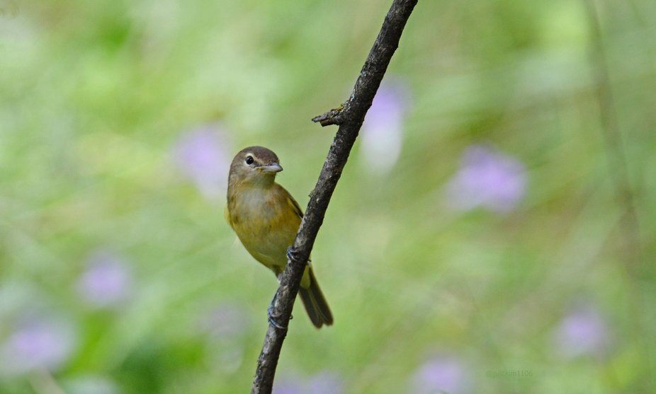 Tiny little Bell's vireos seldom seem to sit in one spot, especially on nice open limb. ...