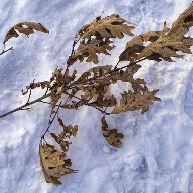 Twig and leaves laying in the snow.
