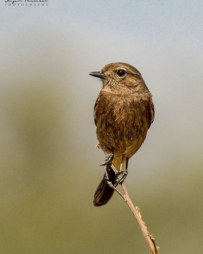 Siberian Stonechat Female #birdsofindia #birds #bestbirdshots #eye_spy_birds #indianwildlifeofficial #wildlifephotography #wildlife #nikonindiaofficial #nikon #natgeoyourshot #natgeo #planetbirds #pocket_birds #eow #edgeofwild