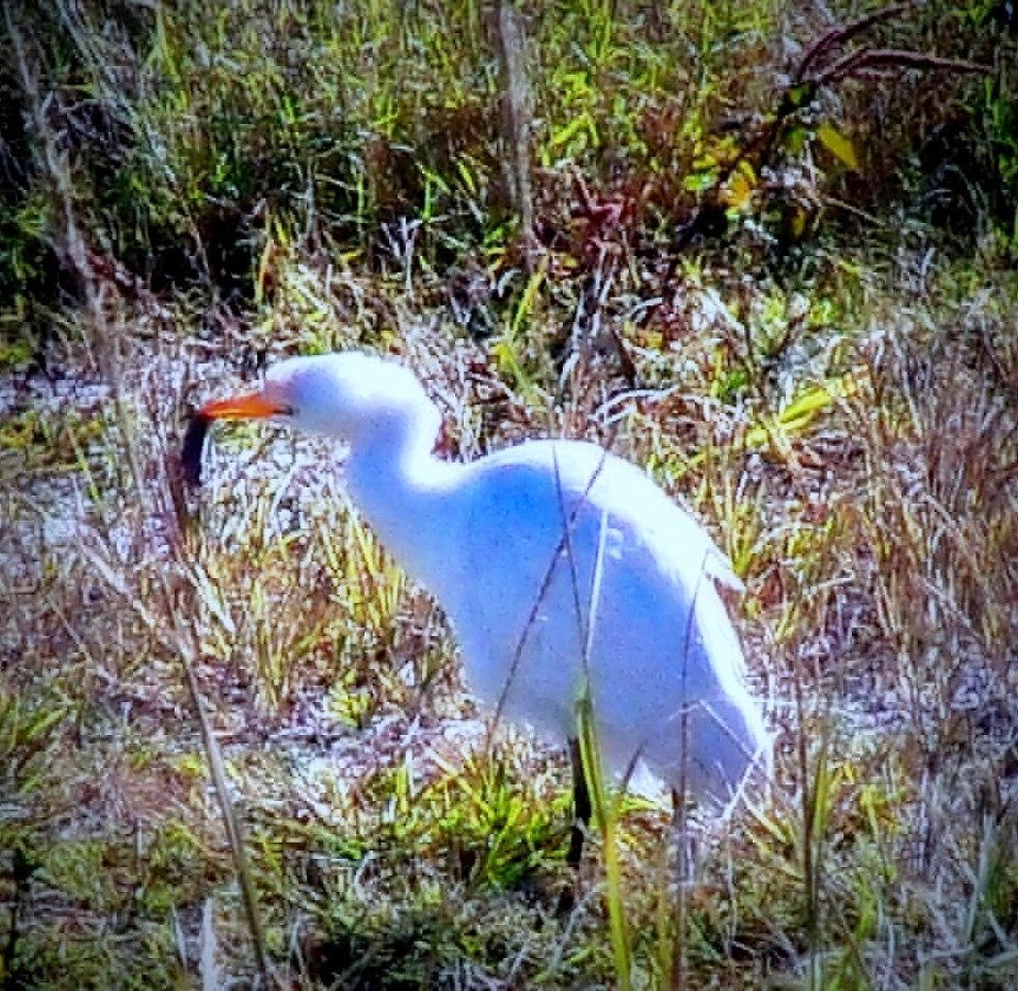 Cattle Egret with his mouse of the day.