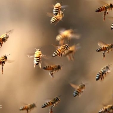 Bees in flight