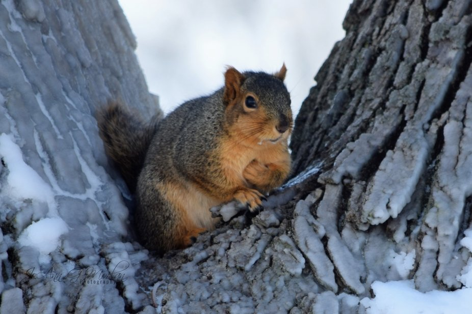 Red fox squirrel, nice and plump, playing in the snow by running up and down the tree, sticking its nose in the snow.  Remnants of snow on the whiskers.