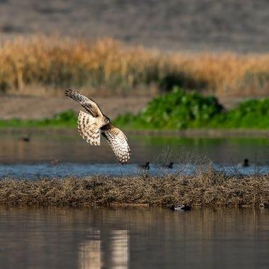 Northern Harrier, female - 04926