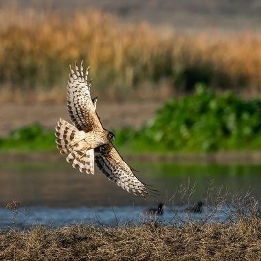 Northern Harrier, Female - 04927