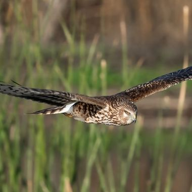 Northern Harrier, female - 04931