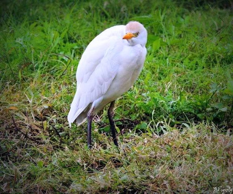A very wet Cattle egret