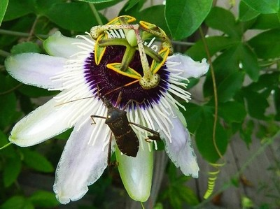 Climbing on the Passion Flower
