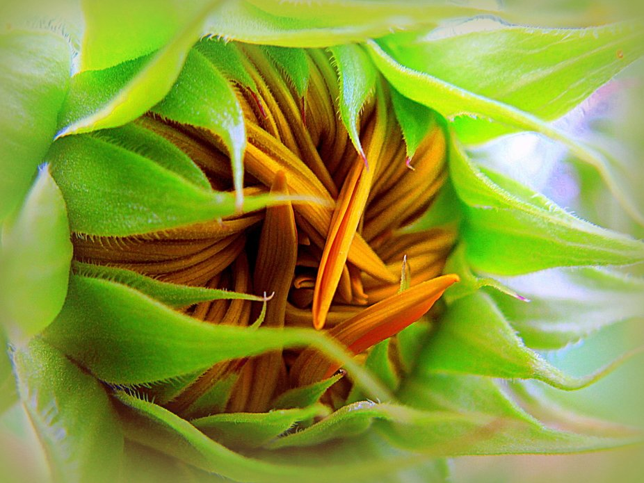 This is a sunflower bud just opening.  IMG_9565crppic