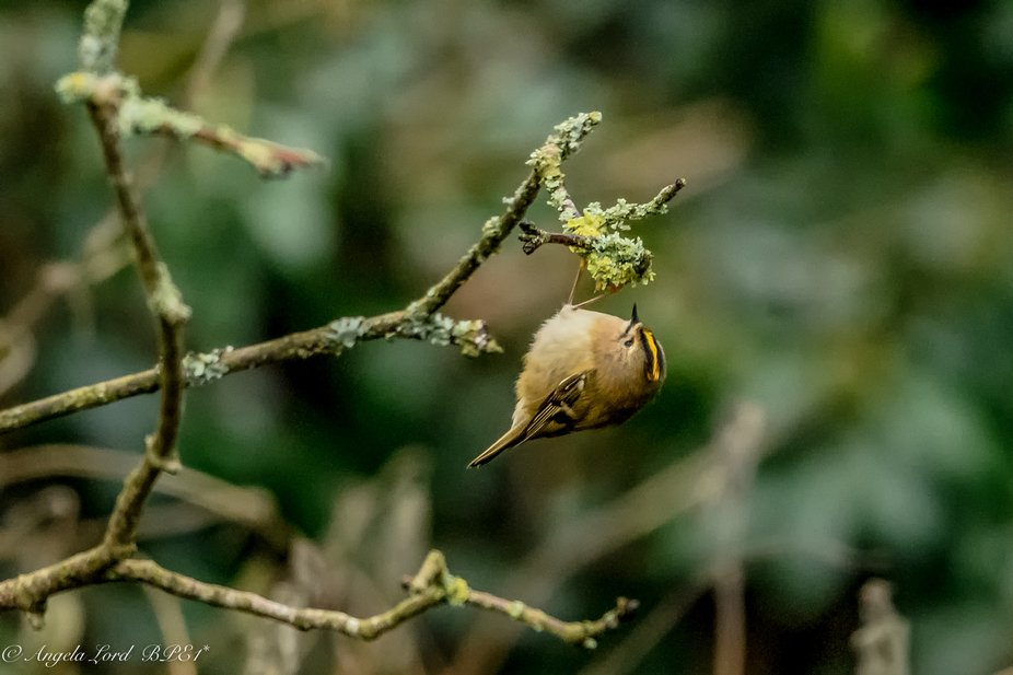 Goldcrest searching for bugs among the twigs - a difficult bird to capture as they are very fligh...