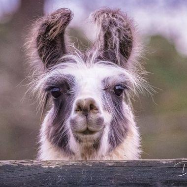 I took this at Christmas during a family visit at a farm. I Love Llamas!