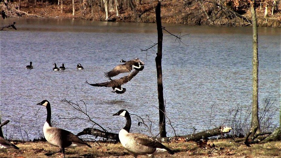 Geese landing at Coffeen Lake