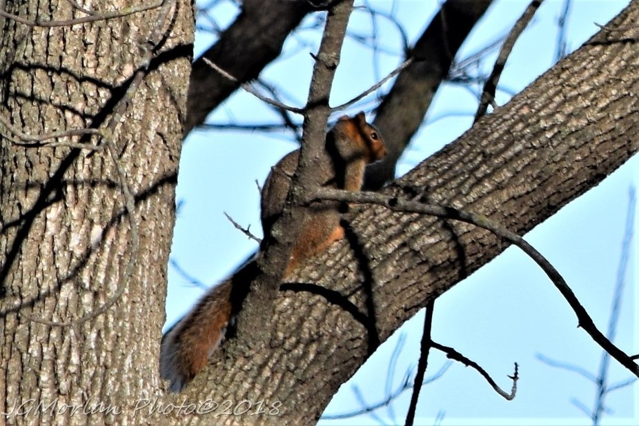 Squirrel sits in a tree looking out over the land.