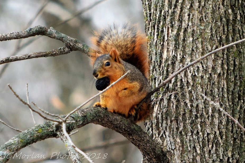 Christmas afternoon 2018 and I found this squirrel scrambling up a tree to a branch where it sat down to enjoy a nice big feast.
