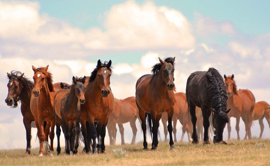 Beautiful wild horses in Wyoming.