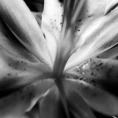 Asian Lilly - b&w