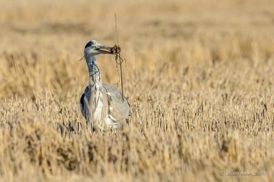 Garça-real   Grey heron   Ardea cinerea