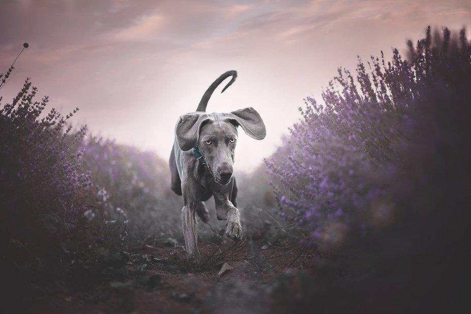 Shine runs in Lavender