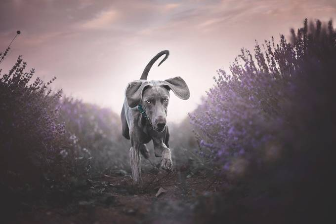 Shine runs in Lavender by stefaniax - Dogs In Action Photo Contest