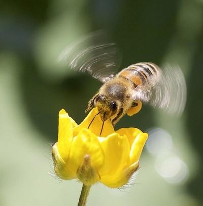 Buzzing Buttercup