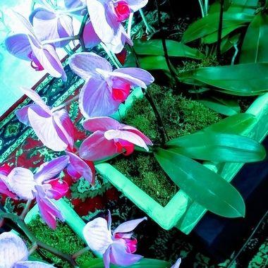 Romance Me Orchids