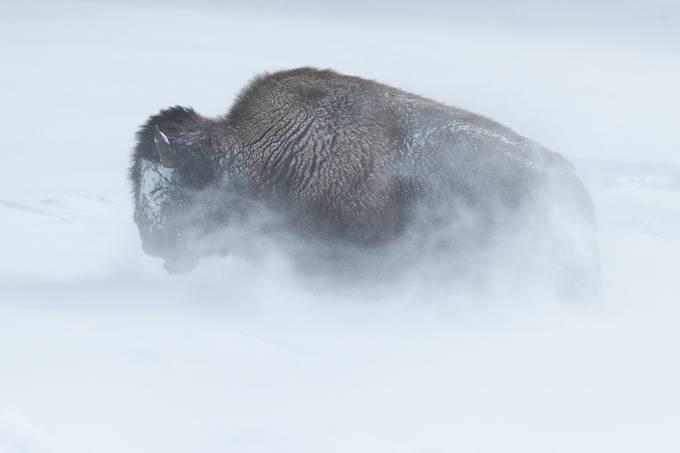 Snow-blown Bison by zquentin - Wind In Nature Photo Contest