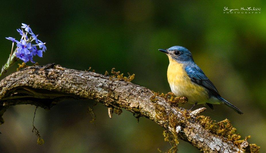 Tickell Blue Flycatcher