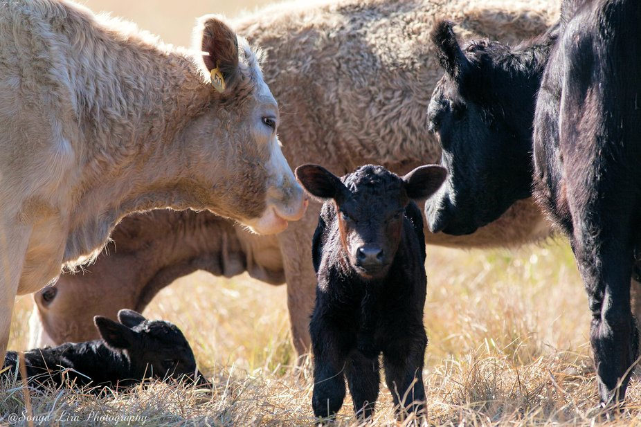 These two babies were born a week apart and they have 3 cows taking care of them.