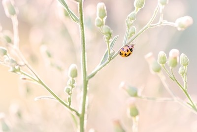 Ladybug in afternoon light