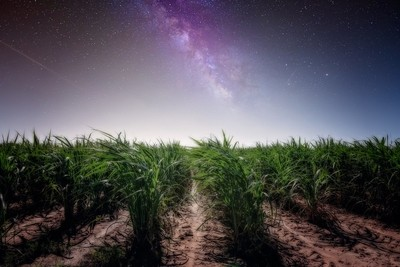 Cane field at night