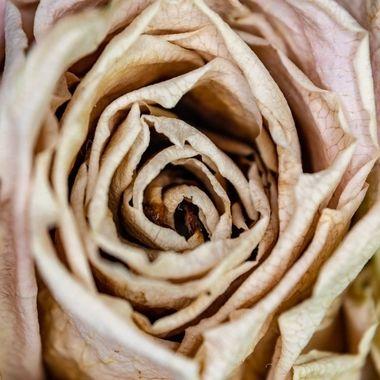 rose - 3290