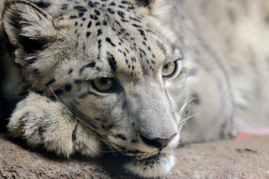 Sleepy Snow Leopard at Brookfield Zoo in Chicago, Illinois