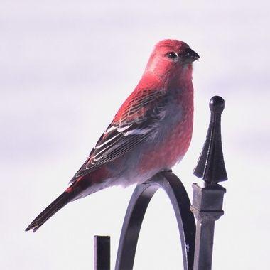 Taking a break on the Shepard's hook holding the bird feeder Nikon D3400 thru the window 420-800 lens
